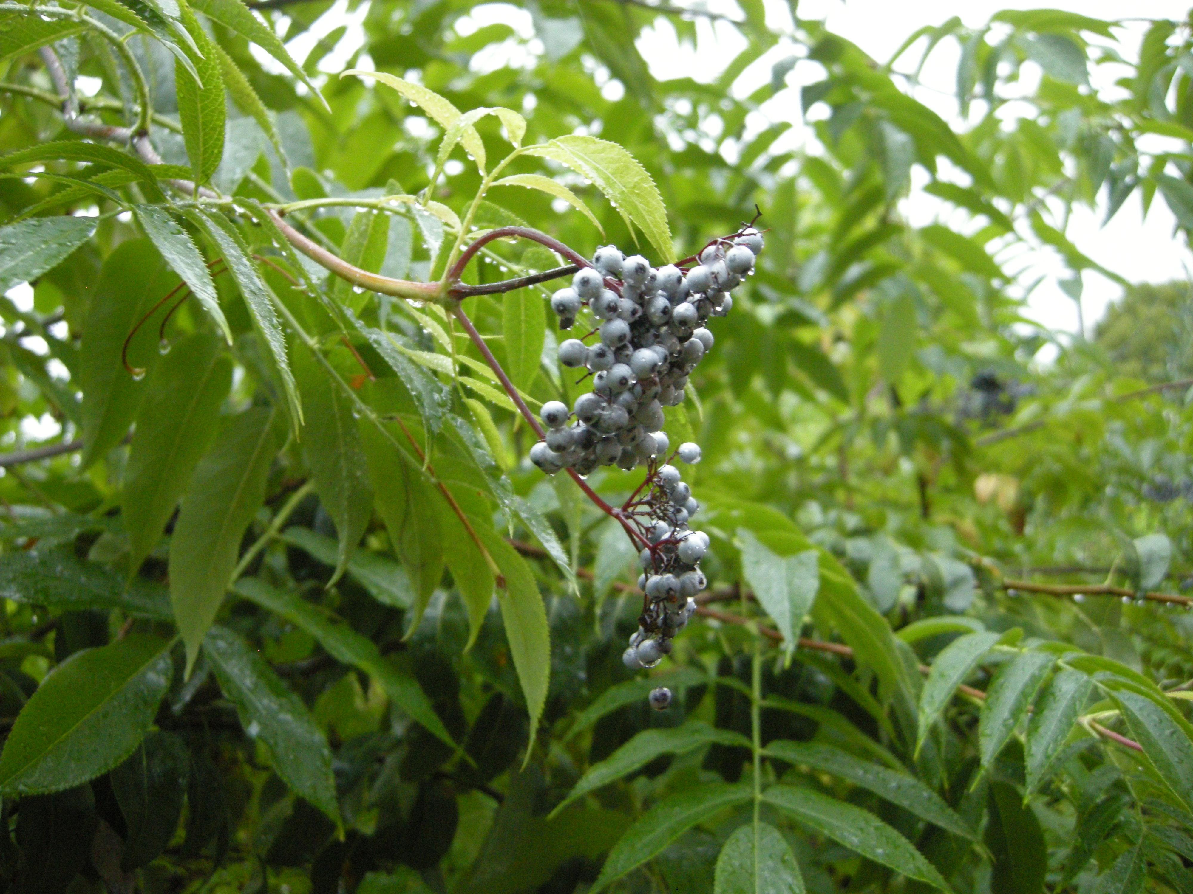 Sambucus cerulea - leaf and fruit