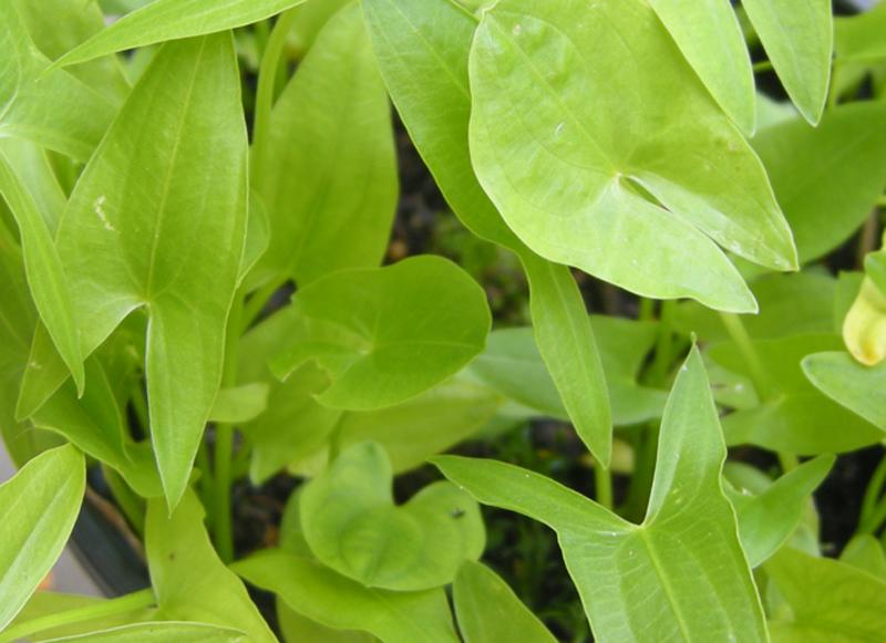 Sagittaria latifolia - leaves