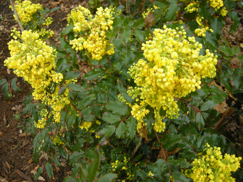 Mahonia aquifolium flowers and leaves