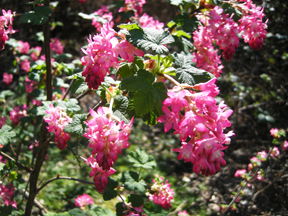 Ribes sanguineum Pursh (red-flowering currant)