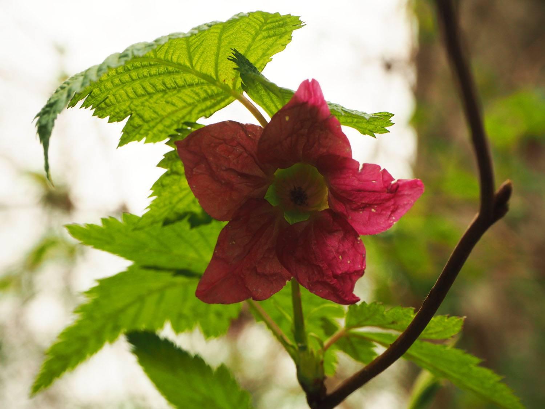 Rubus spectabilis Pursh (salmonberry)